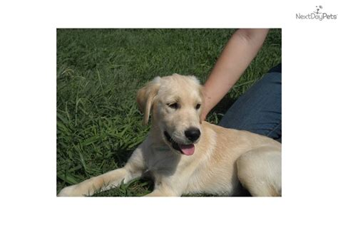 half lab half golden retriever puppies for sale golden retriever creme golden retriever puppies breed breeds picture