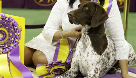 who won the show meet c j the sparkling pointer prince who won 2016 s westminster show