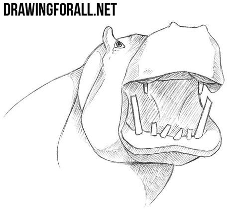 How To Draw A Drawingforall by How To Draw A Hippo Drawingforall Net