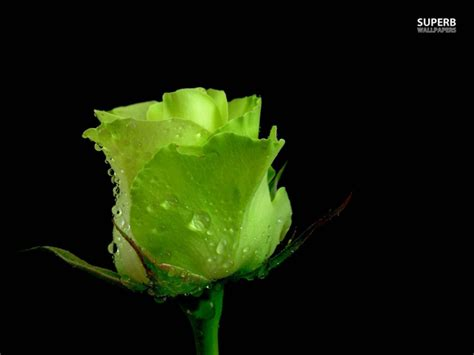 wallpaper of green rose green rose wallpapers hd pictures one hd wallpaper