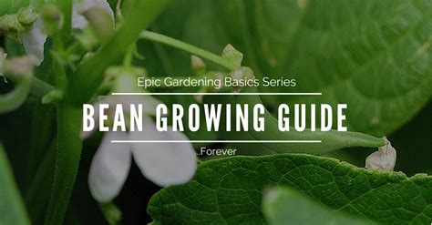 epic gardening basics   grow beans