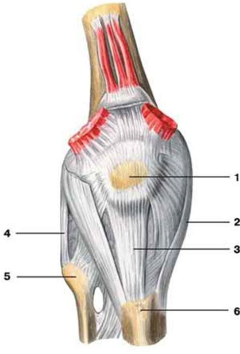 legamento collaterale interno l anca ginocchio legamenti e le articolazioni piede