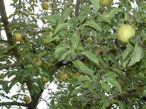 anonas fruit tree the apple of my goodbye locavore mundo