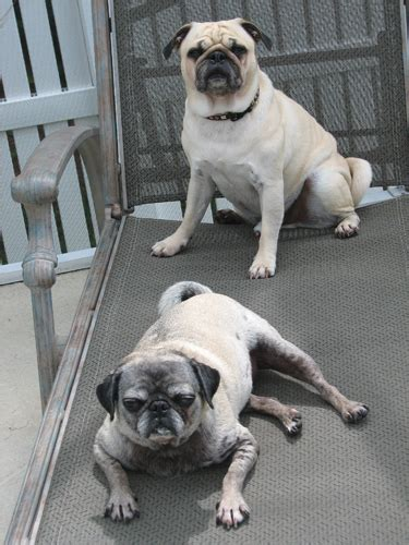 owned by pugs september 5 2008 calendar
