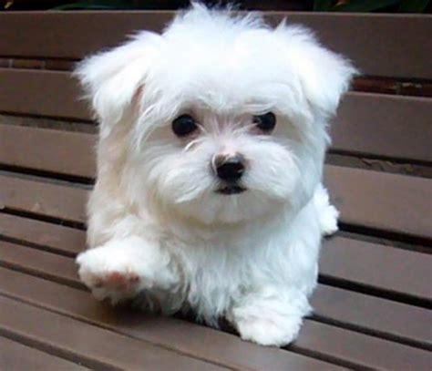 Small Dogs For Home In India Malt 234 S Portal Do Para Quem Ama Cachorros