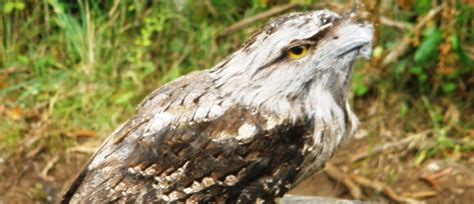 Frogmouth Cottage by Alecia S Cottage Had A Special Guest This Week Morvern