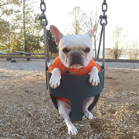 french bulldog swing 25 french bulldogs swinging life away