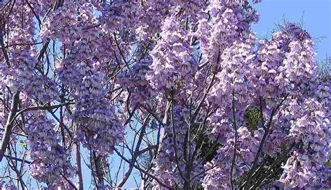 Chinesischer Blauglockenbaum Kaufen by 5000 Frische Samen Paulownia Tomentosa Blauglockenbaum