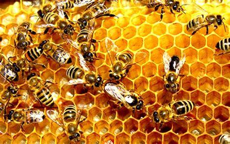 Madu Sarang Tawon ekogeo lebah serangga penghasil madu