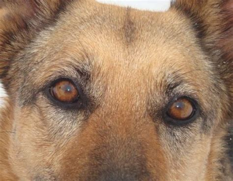 german shepherd eye color on a gsd i need clarification page 2