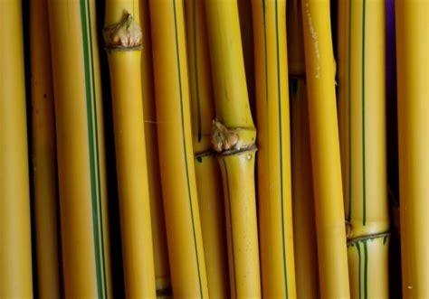 cara membuat zpt dari rebung bambu manfaat dan khasiat bambu kuning bibitbunga com