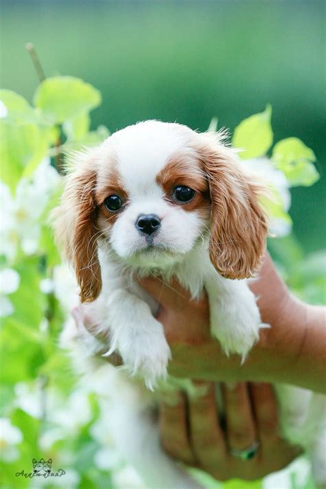 king cavalier spaniel puppy best 20 cocker spaniel puppies ideas on