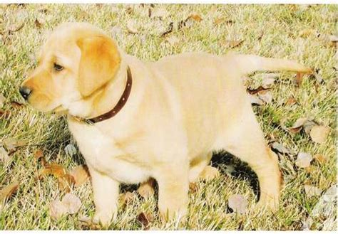 lab puppies for sale in idaho akc yellow lab puppies for sale in na idaho classified americanlisted