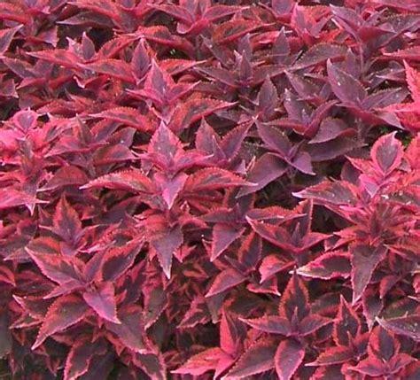 Pianta Ornamentale Con Foglie Rosse E Verdi by Iresine Amaranthaceae Come Curare E Coltivare Le