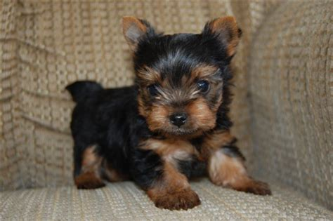 teacup yorkie shedding teacup yorkie puppies for sale 14 wide wallpaper dogbreedswallpapers