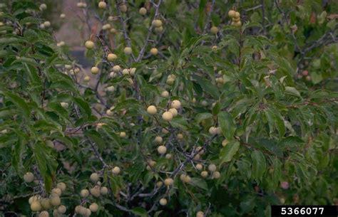american plum prunus americana rosales rosaceae 5366077