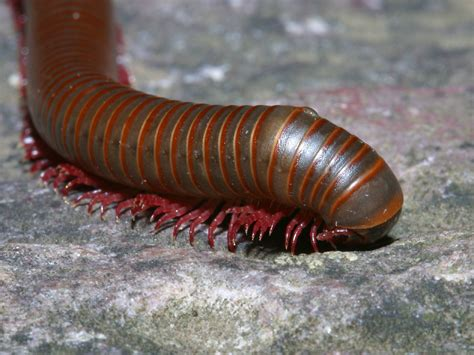 house millipede centipede and millipede wallpaper
