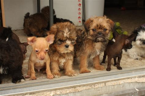 chihuahua puppies for sale in tn miniature chihuahua in tn state of tennessee breeds picture