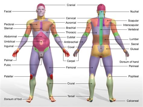 tattoo body areas body parts at hawkeye community college studyblue