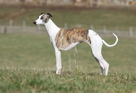 whippet breed whippet breed information buying advice photos and facts pets4homes