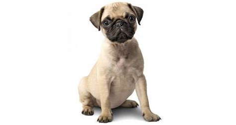 pug runt 10 dogs who won t call you back