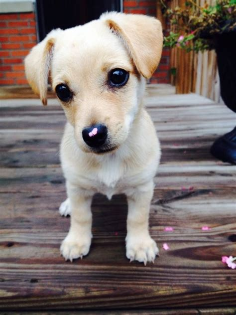 chihuahua terrier mix puppies 25 best ideas about terrier mix on terrier mix breeds mix