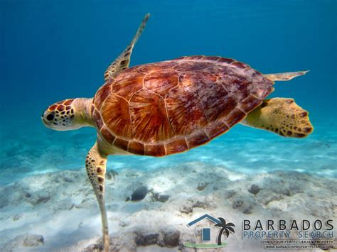 Search Barbados The Hawksbill Turtle In Barbados Barbados Property Vacation At Barbados