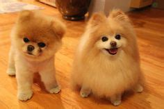 boo pomeranian before haircut 1000 images about boo the worlds cutest on cutest dogs dogs and he is