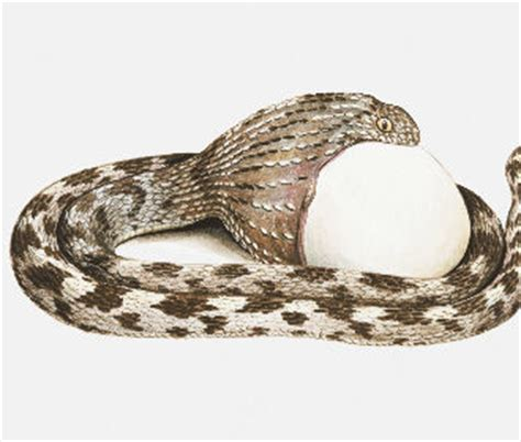 pattern white remedy cape snakes species found in south africa