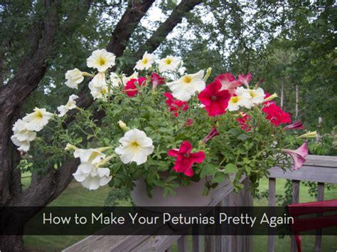 petunias looking leggy do this to make them beautiful