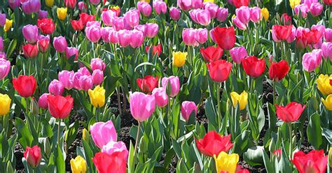 when to plant tulip bulbs ehow uk