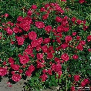 rody 174 ground cover rose buy at agel rosen