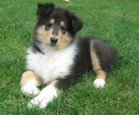 tri color collie tri color collie pup all of creation