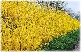 forsythia  intermedia lynwood gold forsythia