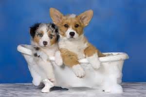 dogs in a bathtub happy pet spa grooming