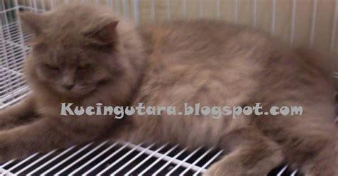 Shoo Malaseb Untuk Kucing kucing utara malaseb rawatan kurap kucing
