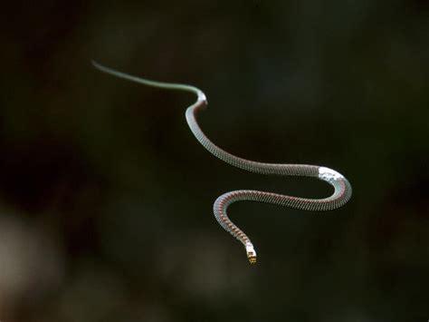 serpente volante i serpenti volanti sono come gli ufo il mondo ufo