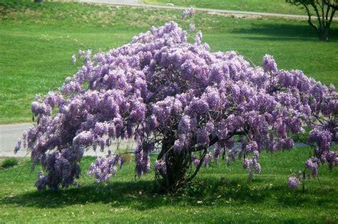 come far fiorire il glicine quando e come far fiorire il glicine ricanti
