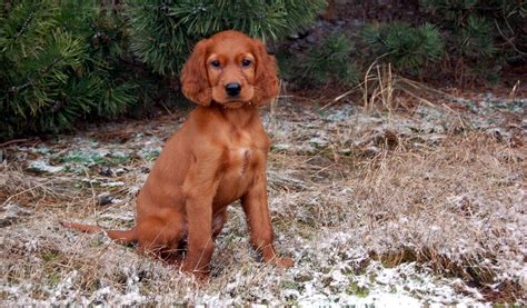 red setter dog puppy 1000 images about my puppies on pinterest