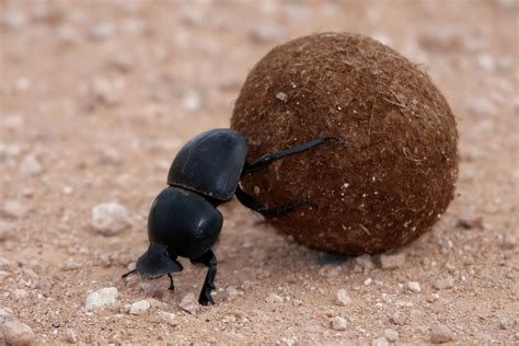 God Of Dung dung beetles use the way to navigate