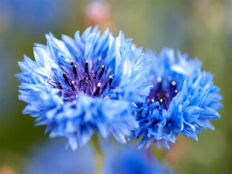 flowers and plants types of blue flowers hgtv