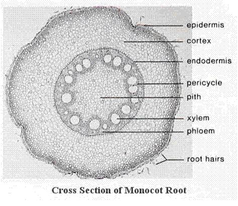 difference between monocot and dicot root cross section plant anatomy questions answers biology class eleven