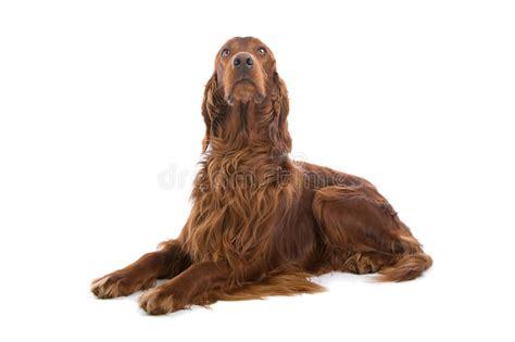 irish setter dog time irish red setter dog stock image image of mans laying