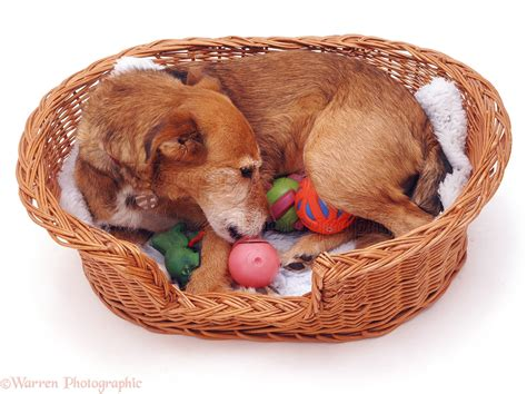 phantom pregnancy in dogs the phantom pregnancy in dogs dogs bone breeds picture