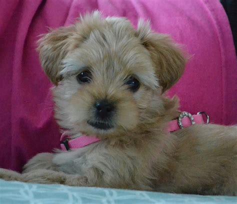 how much is a yorkie poo 17 best images about i yorkie poos on poodles lhasa and puppys