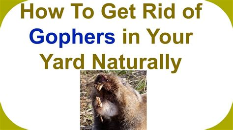 how to get rid of gophers in your backyard how to get rid of gophers in your backyard how to get rid of gophers in your yard how