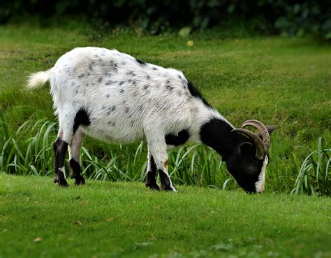 eats grass what animals eat grass pictures to pin on pinsdaddy
