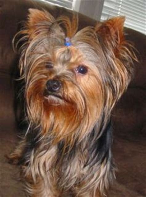 yorkie has diarrhea 1000 images about protein losing enteropathy ple in terriers on