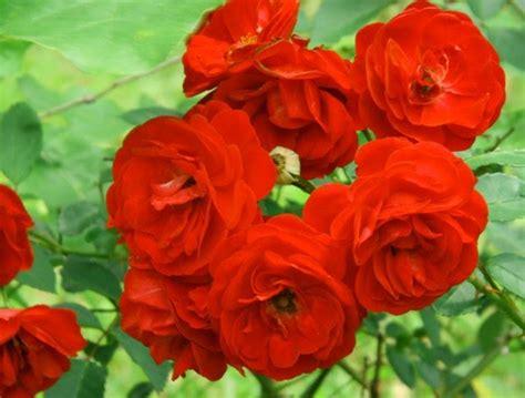 wira usaha modal kecil prospek budidaya bunga mawar