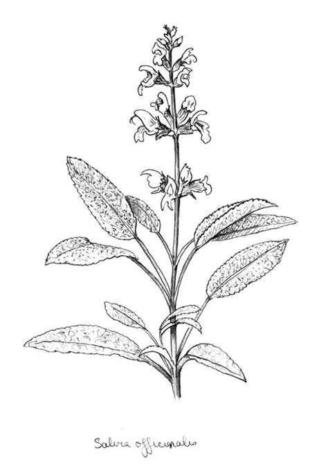 sage herb coloring page coloring pages